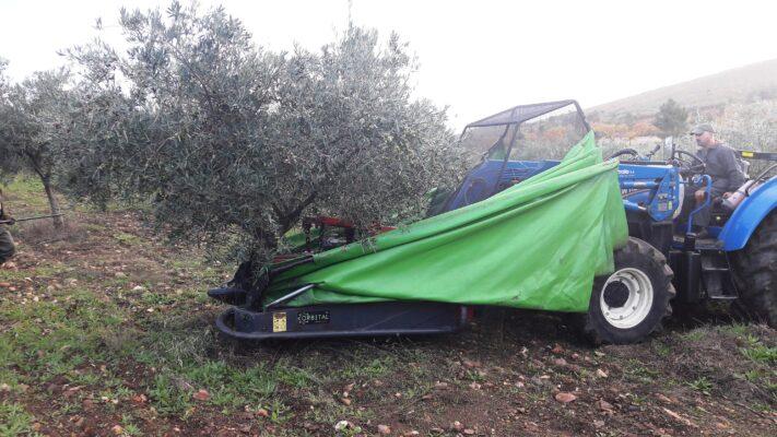 Ramassage des olives - Dulfar - Huile d'olive Bio du Portugal - Le Comptoirdu Portugal