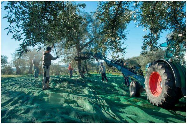 Récolte - Risca Grande - Huile d'olive Bio du Portugal