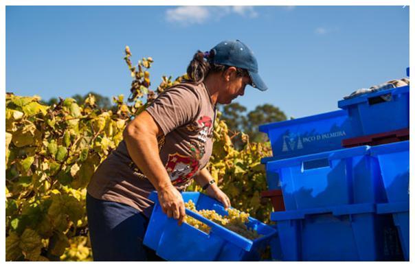 Vendanges au Paço da Palmeira - Vinho verde du Portugal