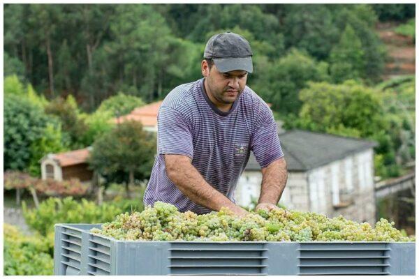 Vendanges dans le Minho pour le Vinho verde