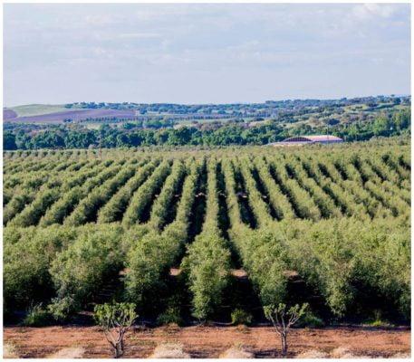 Oliveraie - Olivais do Sul - Huile d'olive de l'Alentejo - Portugal
