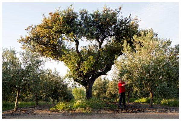 Vieil olivier - Olivais do Sul - Huile d'olive de l'Alentejo - Portugal