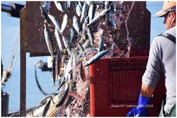 Débarquement des anchois frais au port - Conserves Ana Maria - Conserves de la mer de Cantabrie Espagne