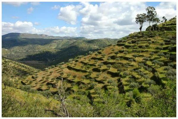 Oliveraie du nord du Portugal