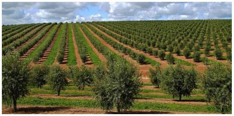 Oliveraie du sud du Portugal