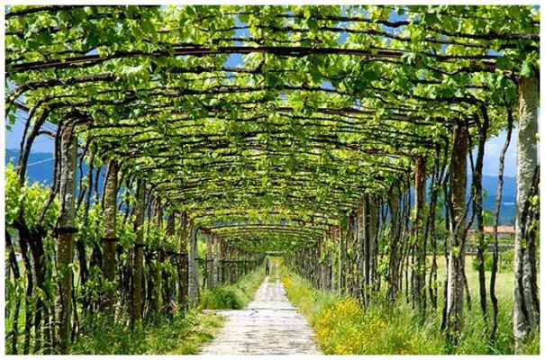 Treilles de vinho verde