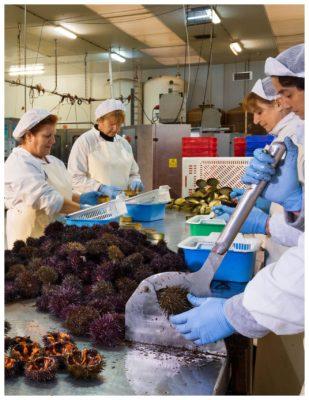 Travail des oursins à la conserverie - Agromar - Conserves de poissons et crustacés - Asturies Espagne