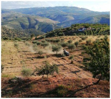 Labour des oliviers et des vignes - Quinta Villaroco - Vins du Douro Portugal