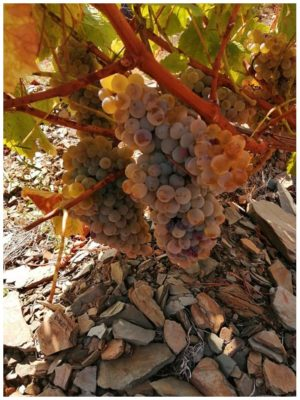Raisins blancs - Quinta Villaroco - Vins du Douro Portugal