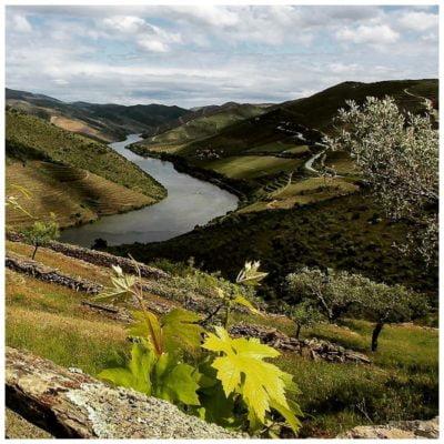 Vignes et oliviers de la Propriété - Geraçoes xisto - Vins du Douro Portugal