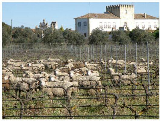Désherbage manuel avec des moutons - Amoreira da Torre - Vins bio de l'Alentejo - Sud Portugal