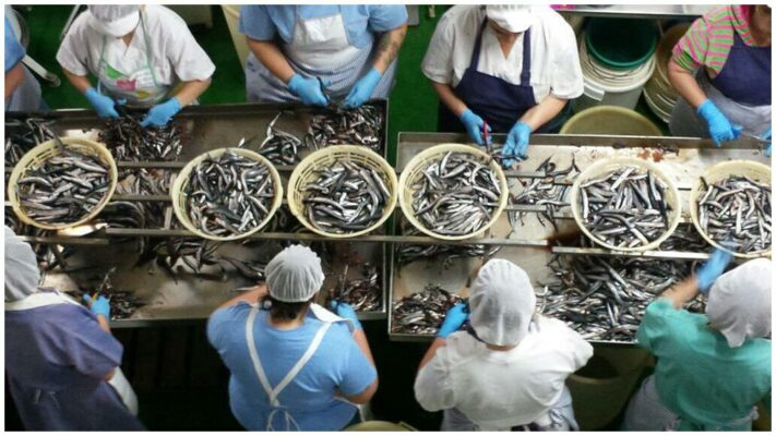 Préparation des anguilles à la conserverie Angelachu - Conserves de filets d'anchois de Santoña - Cantabrie
