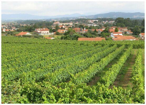 Vignes de la Quinta dos Curvos - Vinho verde