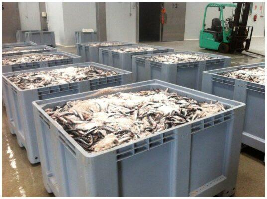 Salaison du poisson -Conserves La Gloria - Costera - Asturies Espagne - Nouvelle Vague l'épicerie de la pêche à Bordeaux