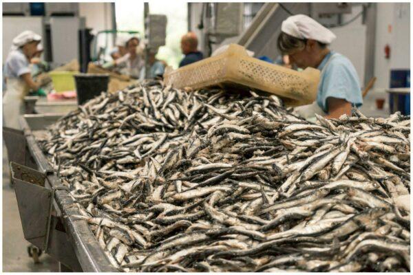 Travail de sélection du poisson -Conserves La Gloria - Costera - Asturies Espagne - Nouvelle Vague l'épicerie de la pêche à Bordeaux