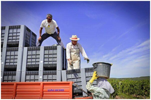 Transport de la vendange - Vins du Tejo